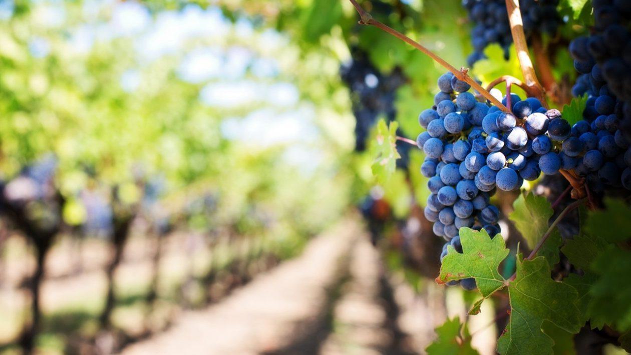 nove sorte grozdja